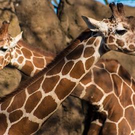 Giraffes by Eva Pastor - Animals Other Mammals ( philadelphia zoo, zoo, giraffe, giraffes )