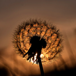 Dandelion Sunset by Iain Mavin - Nature Up Close Other plants ( colour, macro, dandelion, sunset, light, close up, shadows )