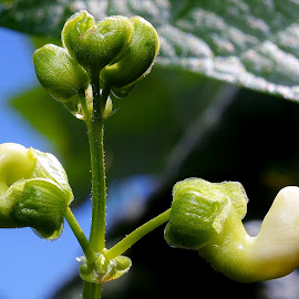Green bean Blossoms  by Randy Young - Nature Up Close Gardens & Produce