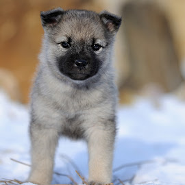 by Bencik Juraj - Animals - Dogs Puppies ( puppy, dog )