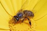 High volume pollinator