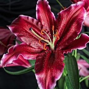 Sumatran Lily by Dave Files - Nature Up Close Flowers - 2011-2013 ( studio, pastel, isolated, fragrance, flora, beautiful, leaf, botanical, spring, pollen, red, lily, nature, season, maroon, lilium, sumatran, stem, closeup, flower, petal )