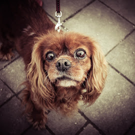 Small dog, interesting camera by Ivan Cindrić - Animals - Dogs Portraits ( potrait, color, dog, small dog, eyes )