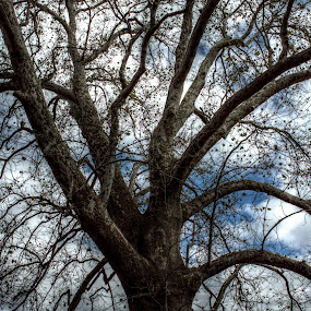 Giant Sycamore by Giantfromsiberia Photographer - Nature Up Close Trees & Bushes ( clouds, sky, tree, fall, sycamore, big )