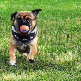 Playing Ball by Patricia Phillips - Animals - Dogs Running ( dogs pugs running )