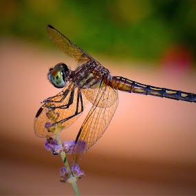 Tiny Dragonfly by Bill Martin - Animals Insects & Spiders ( dragonfly, macro, color, nature, bug, wings, insect, perched, delictae )