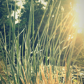 Golden Grass by Ernie Kasper - Instagram & Mobile Android ( ornamental, nature, bright, grass, langley, shining, sunlight, british columbia )