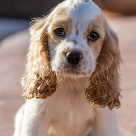 Dottie by Steven Karum - Animals - Dogs Puppies ( big ears, furry, cocker spaniel, puppy, cute )