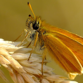 Essex Skipper Butterfly by Pat Somers - Animals Insects & Spiders