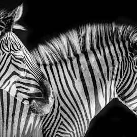 Zebra Pair by Bruce Lindman - Black & White Animals ( animals, black and white, negative, zebra, stripes )