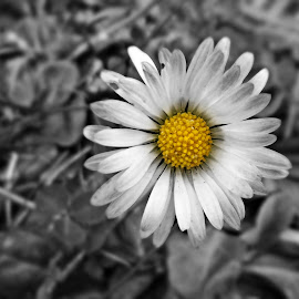 First flower of this year by Ciprian Apetrei - Digital Art Things ( selective color, spring in january, brittany, beauty, flower )