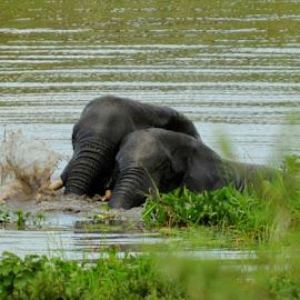 Brothers in the Bath by DJ Cockburn - Animals Other Mammals ( splash, wallow, loxodonta africana, pair, elephant, wildlife, malawi, swimming, riverbank, shire, savannah, playing, majete, africa, river )