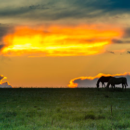 Silhouette of Horses at Sunset by Noah Gallagher - Animals Horses ( field, horses, silhouette, sunset, horse, meadow, light, sun )