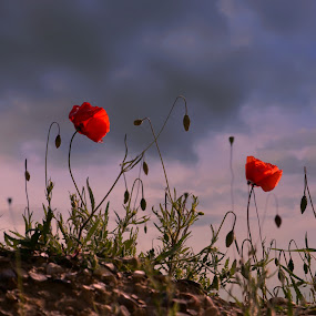 The Final Cut Poppies by Mark Soetebier - Flowers Flowers in the Wild ( flowers in the wind, red flower, pink floyd, the final cut, poppy, poppies, flowers, flower, wild flowers,  )