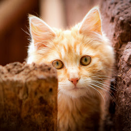 Pisac Kitty by Todd Dubé - Animals - Cats Kittens ( cats, orange, animals, cat, kitten, peru, pet, pisac, cute, bokeh, cusco, street photography )
