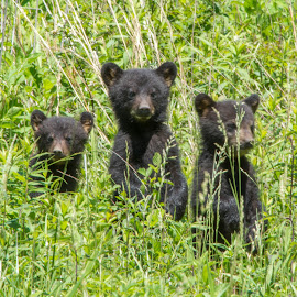 The 3 Cubs by Thomas Shaw - Animals Other Mammals ( mammals, 2017, bear, wild, babies, animals, grass, tennessee, cubs, cades cove, cub, 3, hairy, field, national park, mountains, wild life, bears, wildlife phorography, black bear, three, fur, smoky mountains )