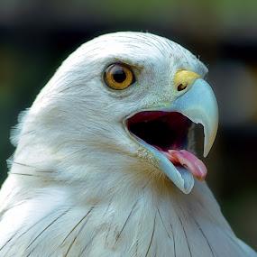 Indonesian Eagle by Koento Birowo - Animals Birds ( pwctaggedbirds-dq )