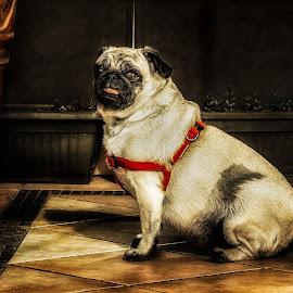 Hope by Plamen Mirchev - Animals - Dogs Portraits ( portret, color, sad, animal, sadness, animals, hope, dog,  )