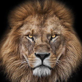 King portrait by Christoph Reiter - Animals Lions, Tigers & Big Cats ( black background, lion, cat, portrait, eyes, animal )