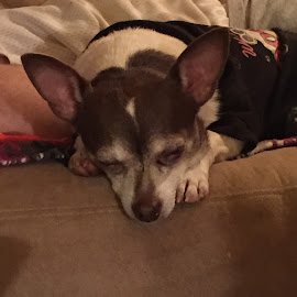 Chuck Sleeping  by Teresa Flowers Wolford - Animals Other ( chihuahua (smooth coat), precious, rescue, adorable, cute dog )