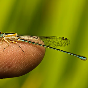 perch on my finger. by De Base - Animals Insects & Spiders