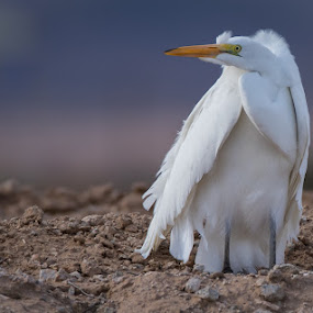 Hunkered Down by Susan and Arwinder Nagi - Animals Birds ( birds wildlife animals nature birding,  )