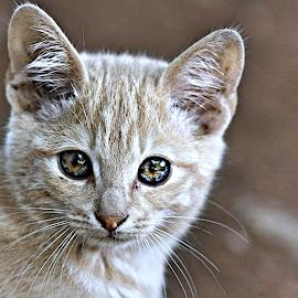 Biscuit 2 by Pieter J de Villiers - Animals - Cats Kittens ( cats, mammals, animals, portrait., south africa, kittens )