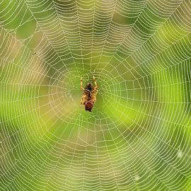 Checking the web  by Chris Mcgurgan - Nature Up Close Webs