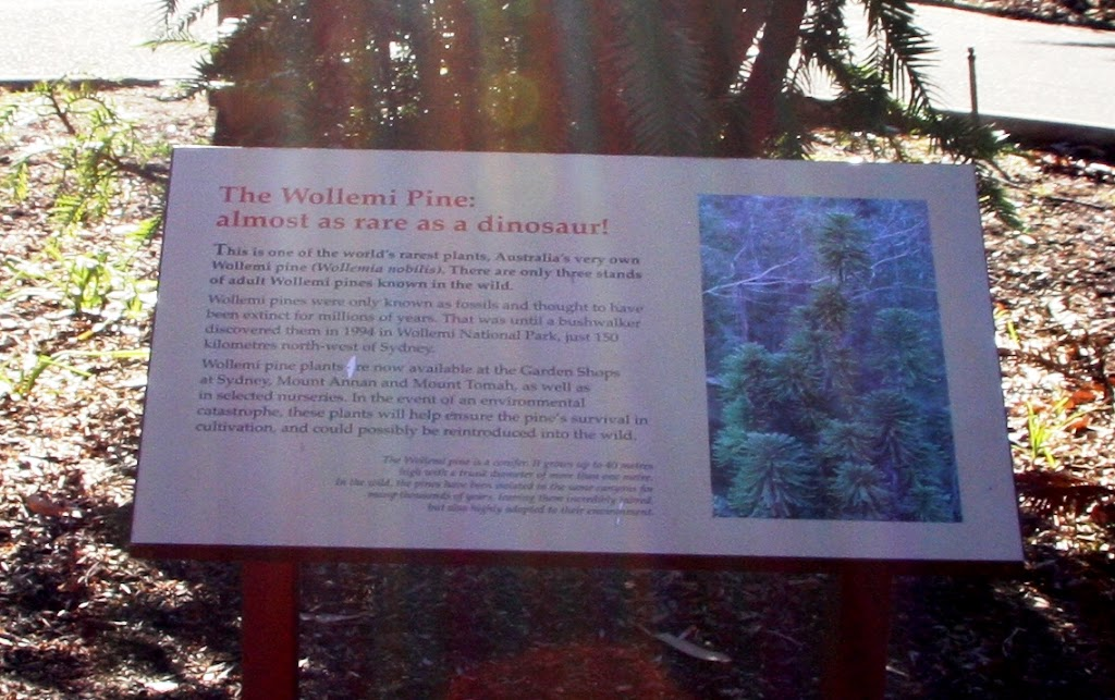 Plaque reads: ' The Wollemi Pine: almost as rare as a dinosaur This is one of the world's rarest plants. Australia's very own Wollemi pine (wollemi nobilis). There are only three  stands of adult ...