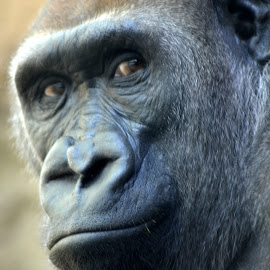 Great Ape  by Lorraine D.  Heaney - Animals Other Mammals