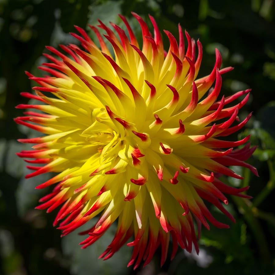 Bright Sun On A Dahlia by Janet Marsh - Flowers Single Flower ( orange, yellow, dahlia )