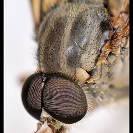 Eye eye by Stephen Crawford - Animals Insects & Spiders ( macro, mouthparts, hairs, insects, close up, eyes,  )