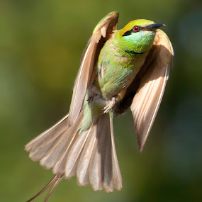 Angelic by Masood Hussain - Animals Birds ( gbe green bee eater birds nature wildlife aves birding )