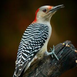 Female Red-Bellied Woodpecker by Paul Mays - Animals Birds