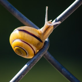 Slow Center by Even Steven - Animals Other ( centered, shell, climb, wire, green, yellow, center, fence, slug, day, slow, snail, light, x )