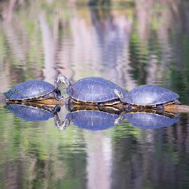 Turtles by Edward Peddie - Novices Only Wildlife