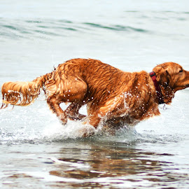 Running Through the Surf by Christine McEwan - Animals - Dogs Running ( water, splash, sea, ocean, dog, running, sprinting, golden retriever,  )