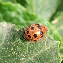 Bryony Ladybird