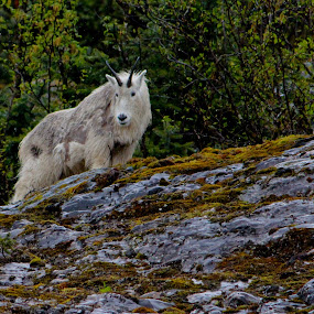 Mountain Goat Wonder  by Emily Jones - Animals Other Mammals ( horns, goat, mountain goat, rocks, animal )