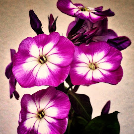 Phlox by Billy Kennedy - Instagram & Mobile iPhone ( purple )