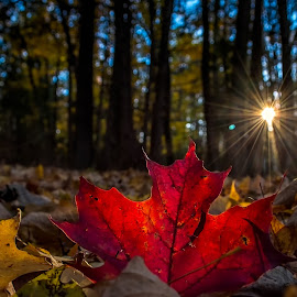 Crimson by Limeblu Photography - Landscapes Forests ( love, sky, dream, sunset, trees, shine, forest, ead, sunrise, maple leaf, sun )