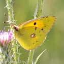 Clouded Yellow;