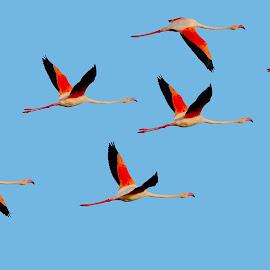 Vol groupé by Gérard CHATENET - Animals Birds