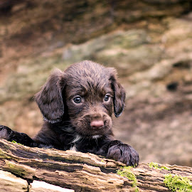 Sprocker Spaniel by Carrie McIntosh - Animals - Dogs Puppies ( portraiture, puppies, spaniel, dog portrait, puppy )