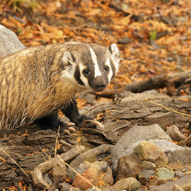 Badger by David Smith - Novices Only Wildlife