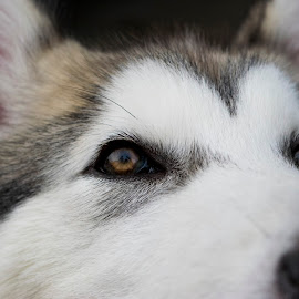 The look of Lucca by Sergio Yorick - Animals - Dogs Portraits ( alaskan malamute, puppy, dog, animal, eyes )