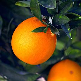 Valencia Oranges by Tony Huffaker - Nature Up Close Gardens & Produce ( orange, fruit, harvested, tree, ripe )