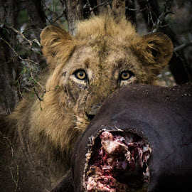 Lion kill by Dawie Nolte - Animals Lions, Tigers & Big Cats ( big cat, lion, lions eating, the look, cat eyes, kill )