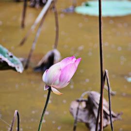 Lotus by Prakash Balge - Flowers Flower Buds ( pink flower, lotus, single flower, pink, bud, lotus flower )
