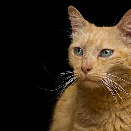 Those eyes by Susan Pretorius - Animals - Cats Portraits